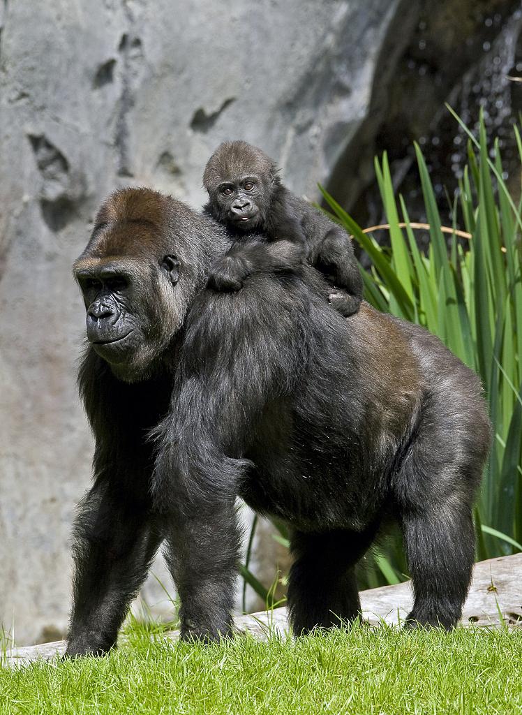 美媒:美国动物园要为动物打疫苗,包括灵长类动物及狮子老虎等动物