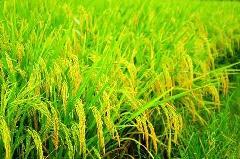 """中国科研人员揭示水稻基因组中的""""隐藏""""变异"""