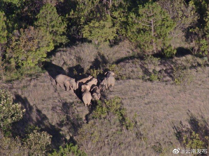 云南象群总体向南移动持续在石屏县龙武镇附近林地内活动