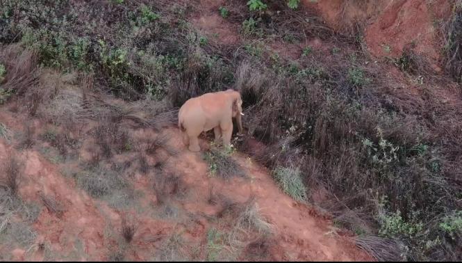 《象群向西北迂回迁移,与独象直线距离19.1公里》