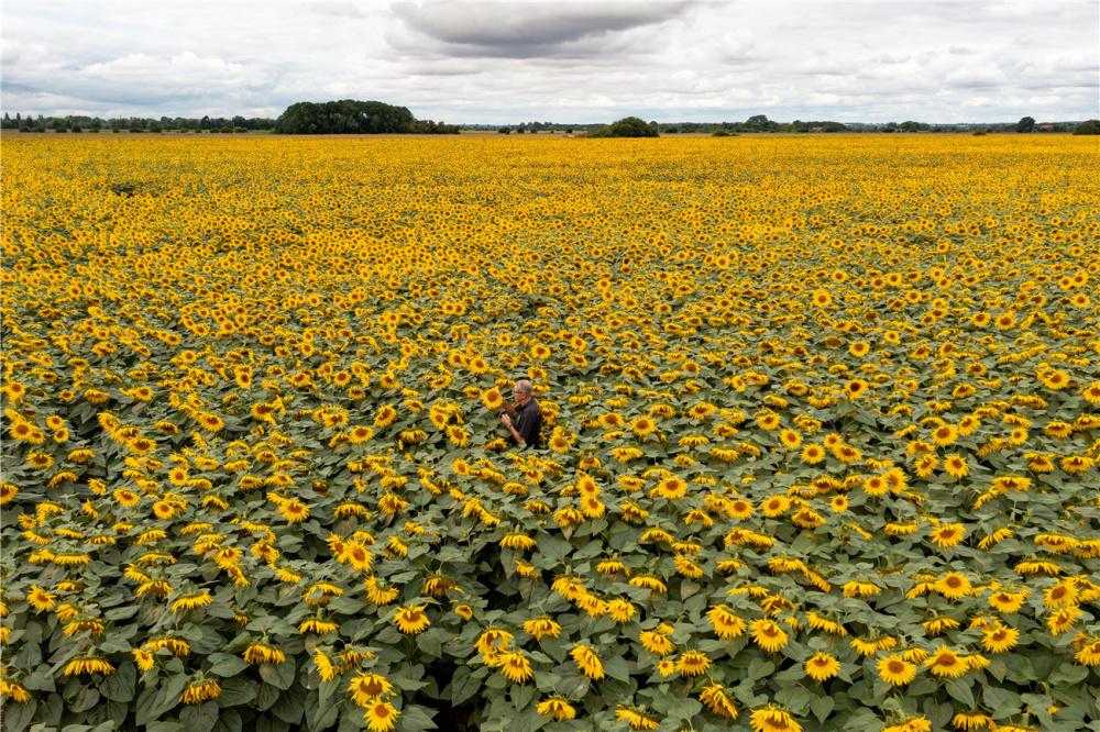 英国最大向日葵农场盛放 金色花海美如画卷-第4张图片-凉面论坛_不只是免费发布招聘求职信息_致力成为生意人优选的分类信息网