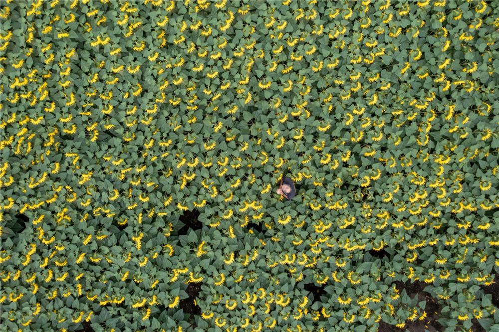 英国最大向日葵农场盛放 金色花海美如画卷-第3张图片-凉面论坛_不只是免费发布招聘求职信息_致力成为生意人优选的分类信息网