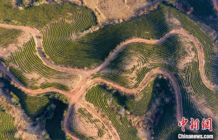 """航拍江西遂川千亩茶叶种植基地 层层叠叠如大地""""指纹"""""""