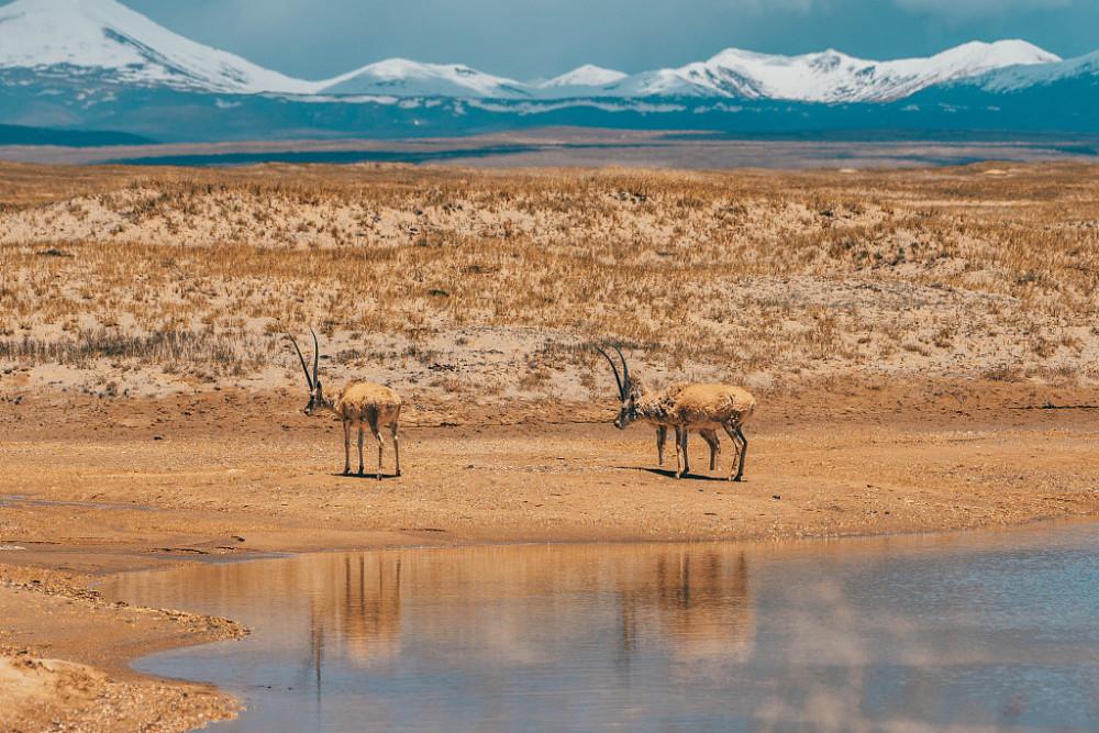 可可西里藏羚羊数量增至7万多只-第5张图片-凉面论坛_不只是免费发布招聘求职信息_致力成为生意人优选的分类信息网