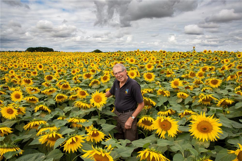 英国最大向日葵农场盛放 金色花海美如画卷-第2张图片-凉面论坛_不只是免费发布招聘求职信息_致力成为生意人优选的分类信息网