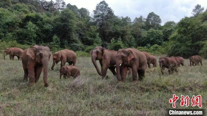 《陈飞:如何理性科学看待亚洲象北迁的中国样本?》