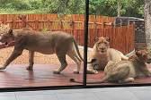狮景房?南非一对夫妻推开房门发现6只狮子