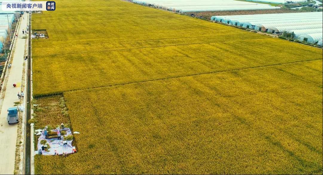 袁隆平超级稻蒙自基地连续四年百亩片平均亩产超1100千克