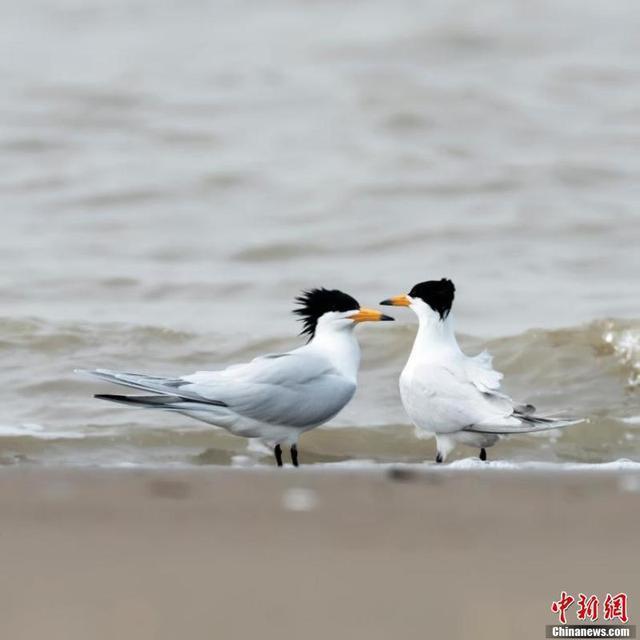 全球不到100只!三种全球濒危鸟类现身闽江河口湿地