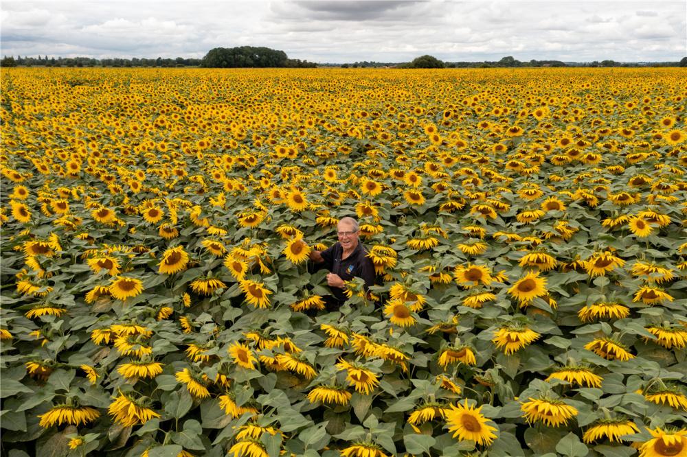 英国最大向日葵农场盛放 金色花海美如画卷