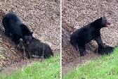黑熊在公路旁猎杀野猪 野猪皮开肉绽尖叫不已