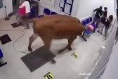 哥伦比亚一头牛闯入医院候诊室 疯狂乱撞袭击人