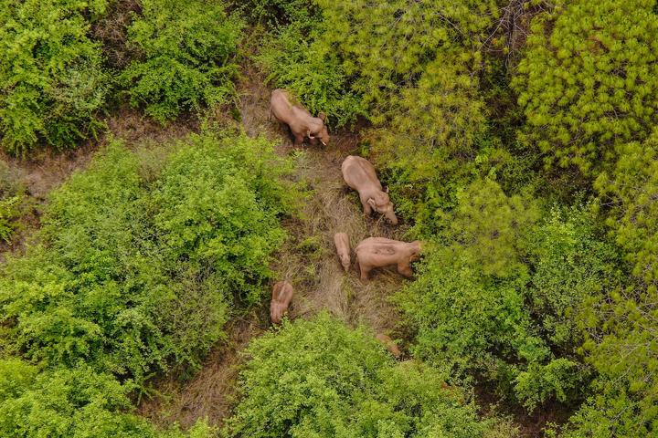 《象群到哪了?前行的路又在哪里?——追踪云南野象北迁》