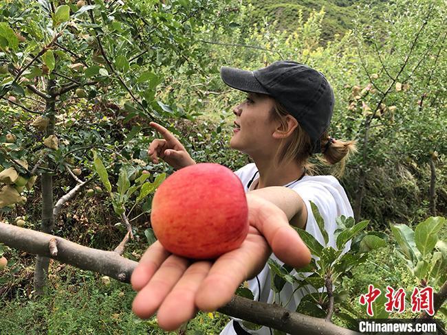 """甘肃甘南旺藏:""""果树认买""""独辟蹊径 """"看着长大""""的红苹果拓致富路"""