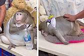 泰国摊主饲养一只40多斤胖猴 被路人投喂垃圾食品