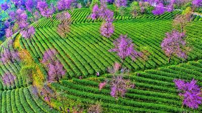 云南:茶产业、茶文化何以流行