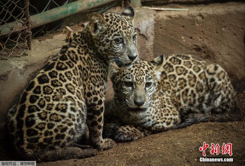 两只美洲虎宝宝被兽医营救 曾差点被卖掉