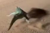 最膽小的鱷魚!澳一鱷魚路上遇女導游飛速逃走