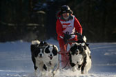 战斗民族的狗狗!俄罗斯举行狗雪橇比赛