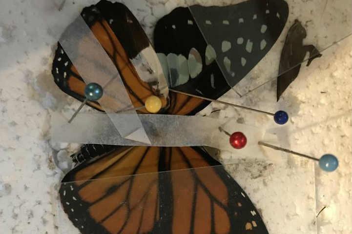 女子为蝴蝶做翅膀修复术 技巧精湛堪比外科医生