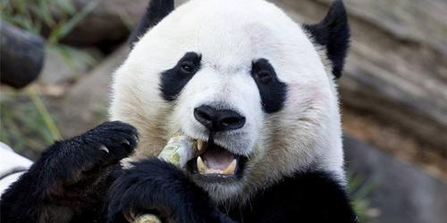 """美媒:熊猫""""贝贝""""回国让永利网址注册人依依不舍"""
