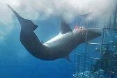 墨西哥一条大白鲨被潜水笼卡住 不幸流血而亡