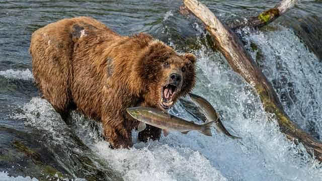 阿拉斯加棕熊坐等鲑鱼入口乐享美食