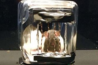 會駕車覓食還能直行轉彎!美科學家訓練老鼠開車