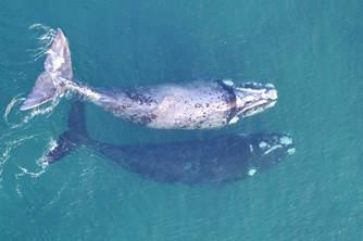 揭秘鯨魚稱重新方法 用無人機畫面開發測量模型