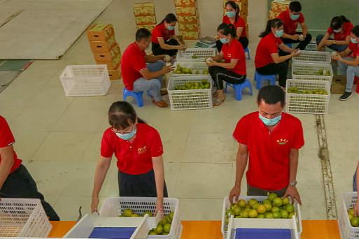 海南白沙:红橙丰收季节到甜了产业富了职工