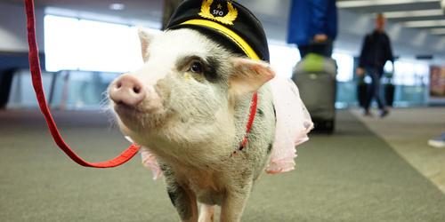 治愈你了吗?世界首只机场治疗猪涂红指甲油爱自拍