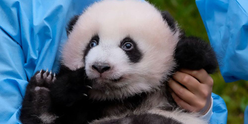 比利时新生双胞胎大熊猫亮相又乖又萌