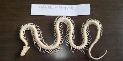 陕西首次发现珍贵蛇类化石 每节仅3毫米