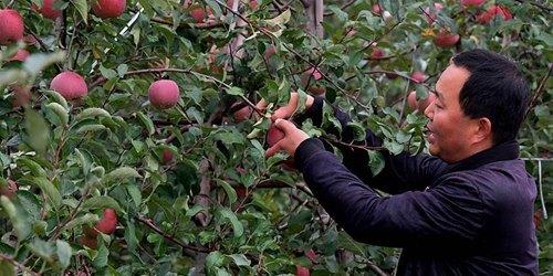 小苹果带动致富大产业