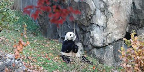 永利网址注册人:见面格外想贝贝 向熊猫外交请继续