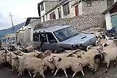 尼泊爾一汽車被羊群圍困 困在原地動彈不得