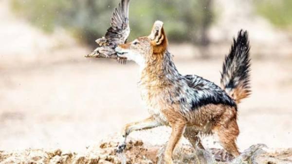 毫无戒心?南非饿豺捕鸟大作战成功捕猎