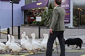 这里的大鹅可以乘公交车