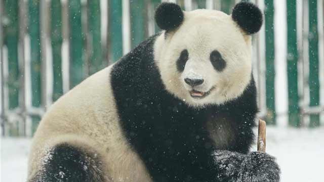 """大熊猫享受""""雪季"""""""