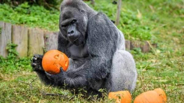 英国动物园南瓜装食物 动物齐过万圣节