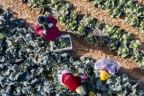 """山东青岛:""""常回家""""农业综合产业园蔬菜喜获丰收"""