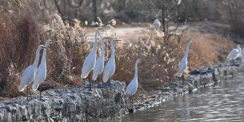 山西太原:白鹭汾河舞