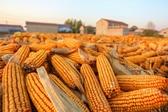 河北邯郸村民晾晒玉米场面壮观