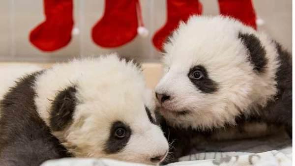 柏林动物园发布旅德大熊猫双胞胎近照