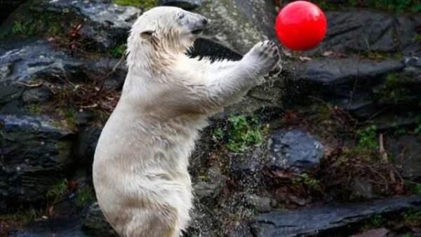 憨态可掬!北极熊为妈妈庆生超可爱