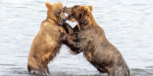 """美国两棕熊化身""""摔跤手"""" 水中上演激烈对决"""