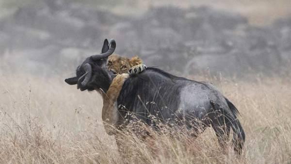 狮子袭击迁徙角马群 抱住脖子撕咬