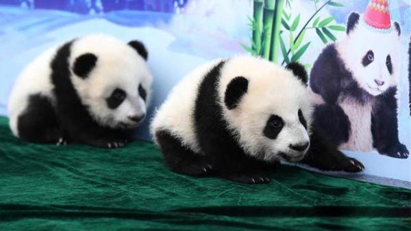 """三只新生秦岭大熊猫""""百日""""亮相"""