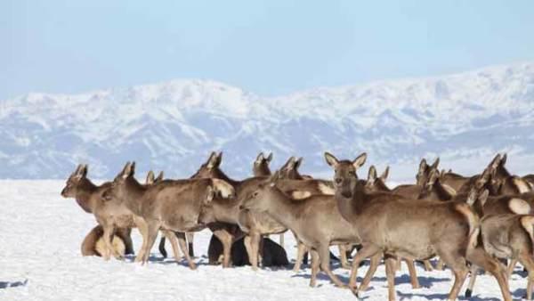 新疆天山马鹿走出山林结群觅食