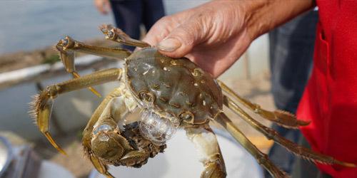 上海本地产黄浦江大闸蟹开捕 最低每只60元